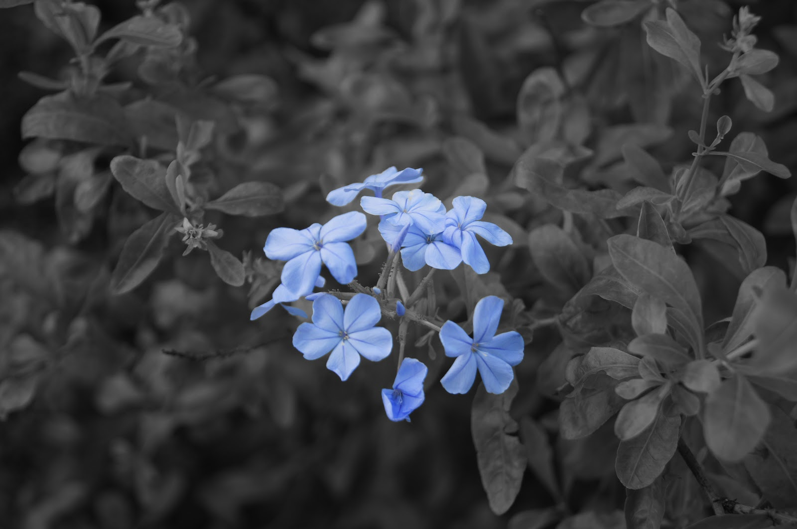 Black And White Photography Flowers With Color Accents